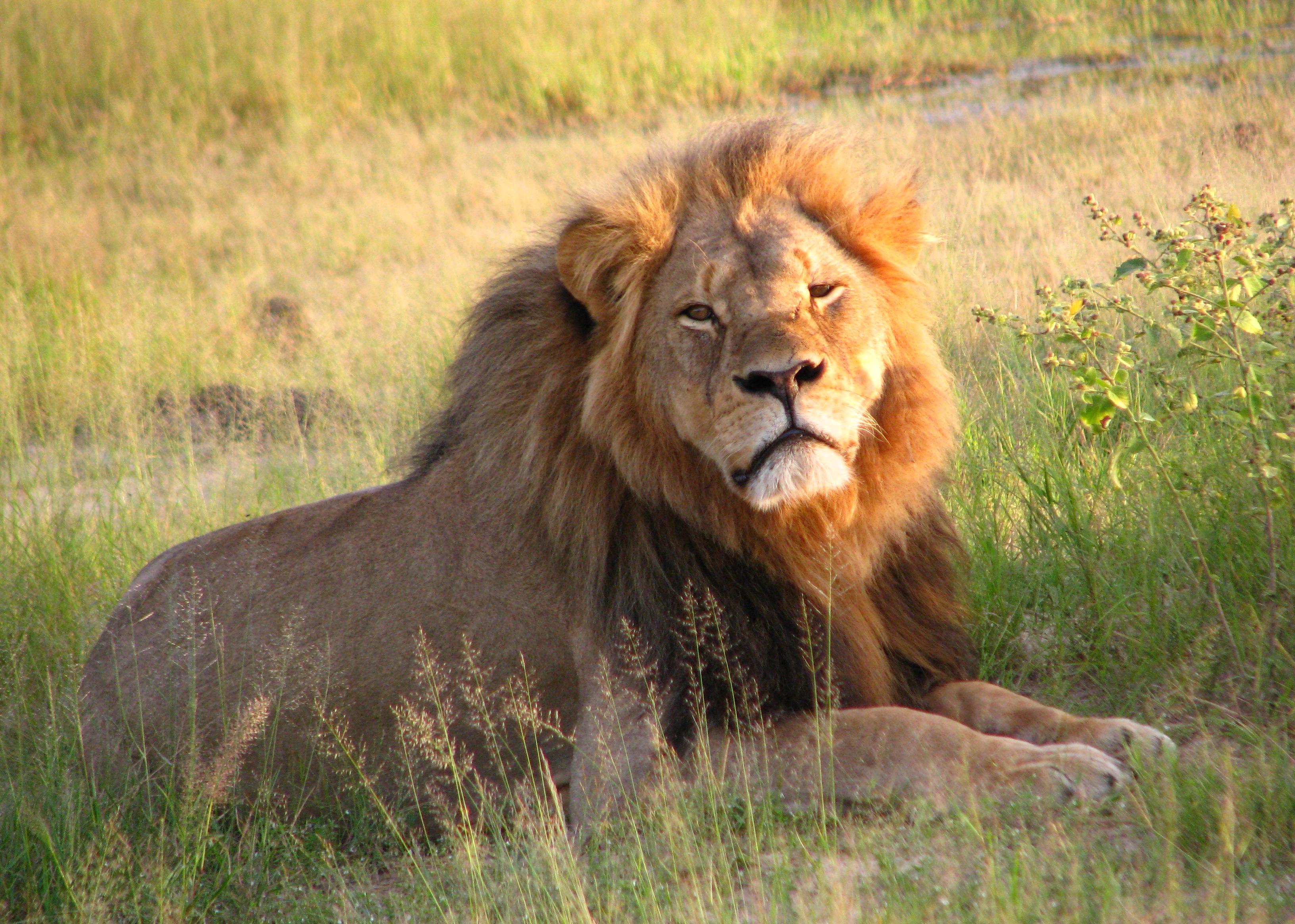 Нема обвинување за ловџијата што го застрела лавот Сесил во Зимбабве
