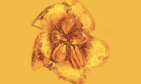 Пронајден фосил на растение изумрено пред 15 милиони години (ФОТО)