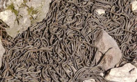 """""""Се разбуди"""" најголемото легло на змии во светот (ВИДЕО)"""