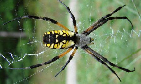Зоолошка во Австралија ги охрабрува посетителите да донираат смртоносни пајаци