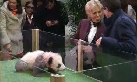 Брижит Макрон кума на првата панда родена во Франција (ВИДЕО)