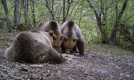 Шар Планина - дом на сѐ поголем број на мечиња (ВИДЕО)
